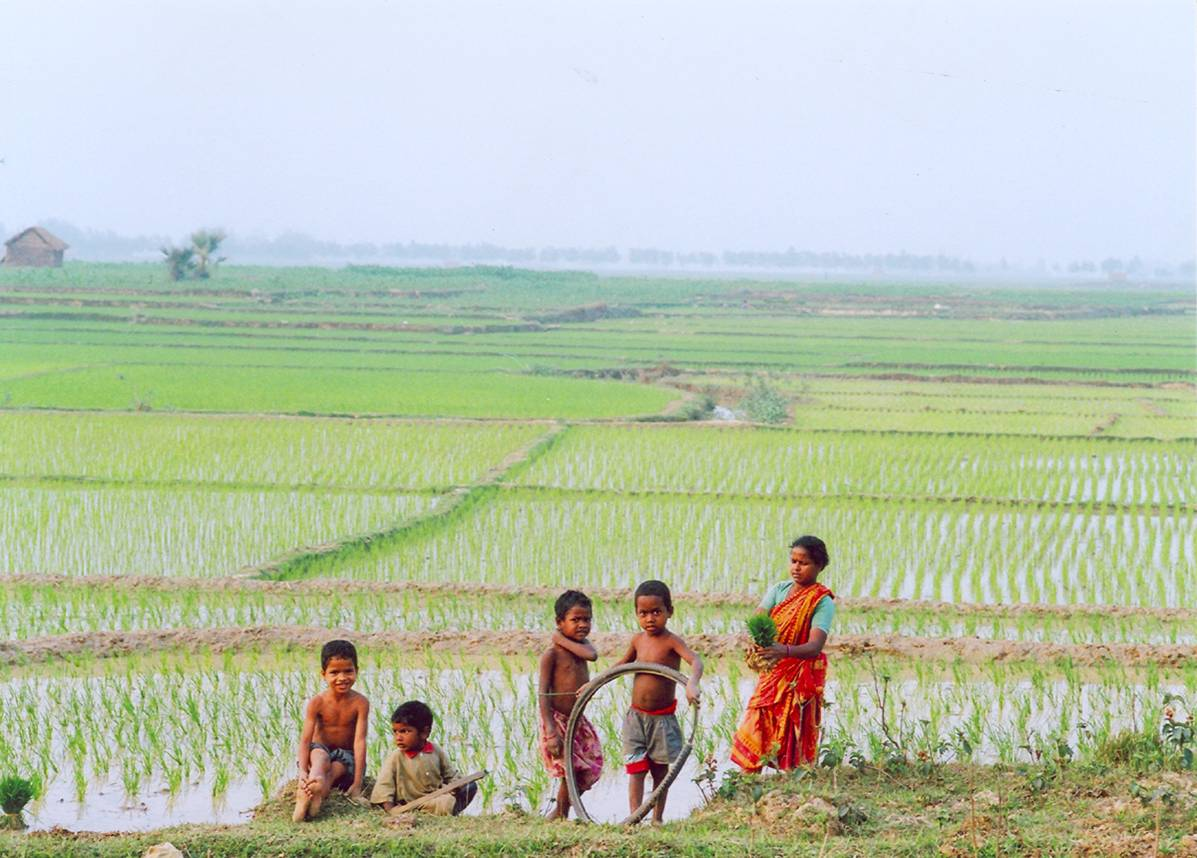 Phulbari rice fields 3